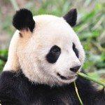 My Faaavorite Panda Bear Video!