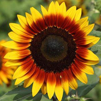 Sunflowers…